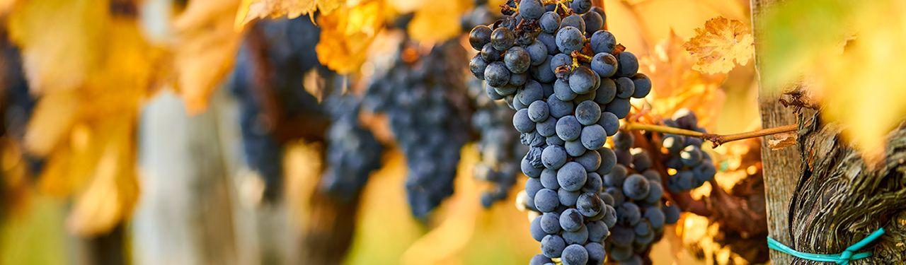Viinirypäleitä